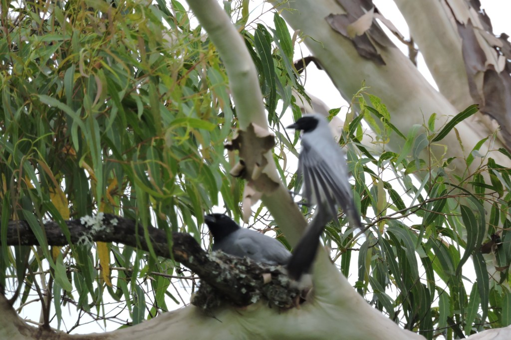 22/11/15_ Black face Cuckoo Shrike nesting near Hollingworth Creek