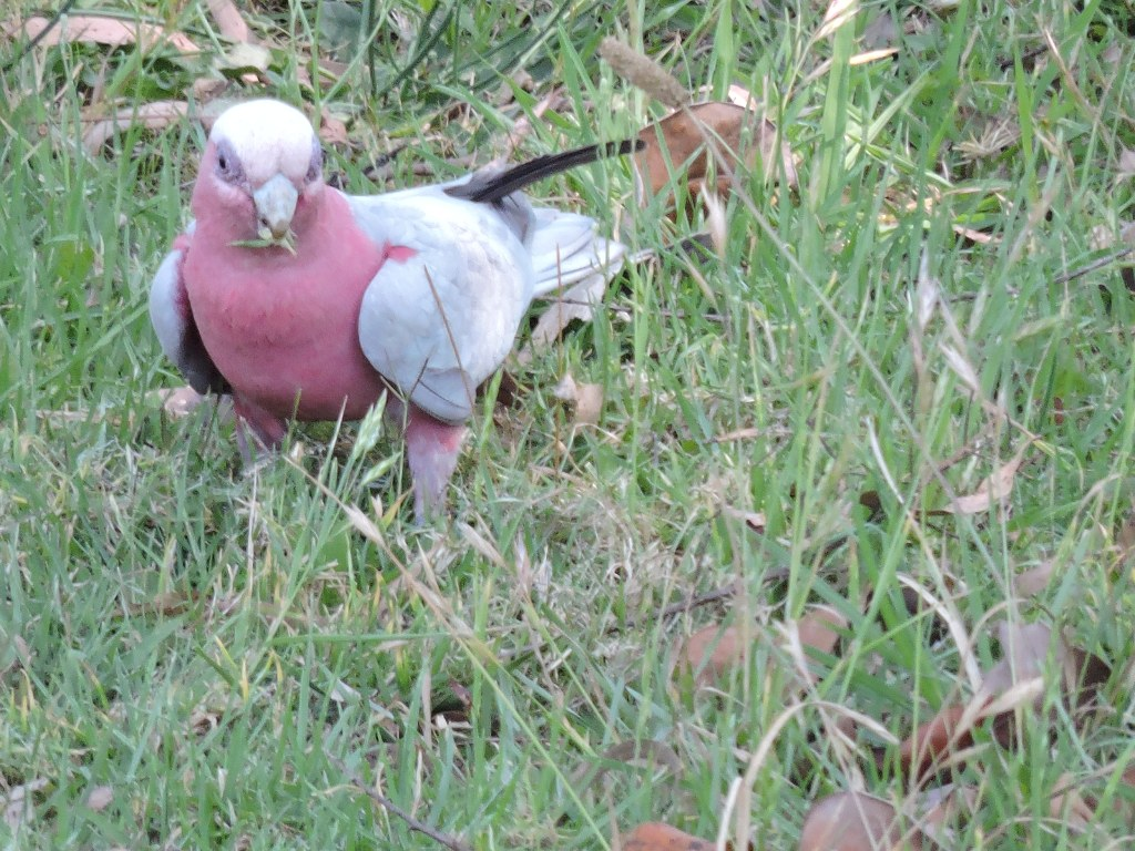 A Galah near Hollingworth Creek