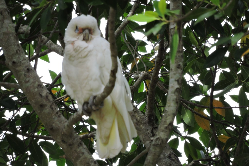 A Sulphur Crested Cockatoo (Cacatua Galerita) above the Creek.