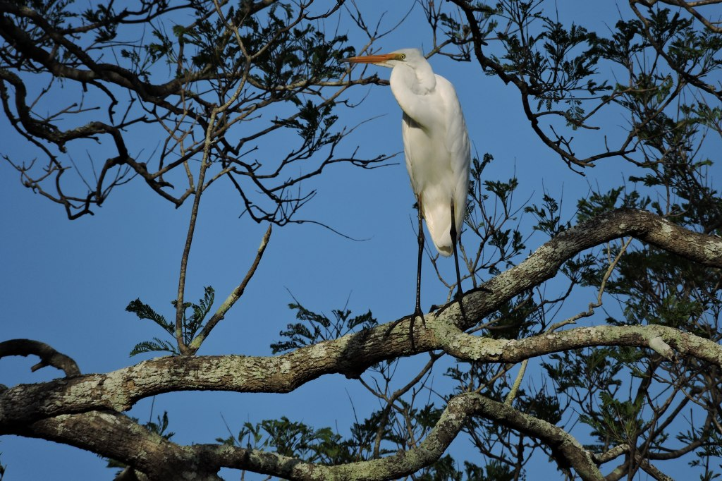 Egret at Riverview Park-Hollingworth Creek.