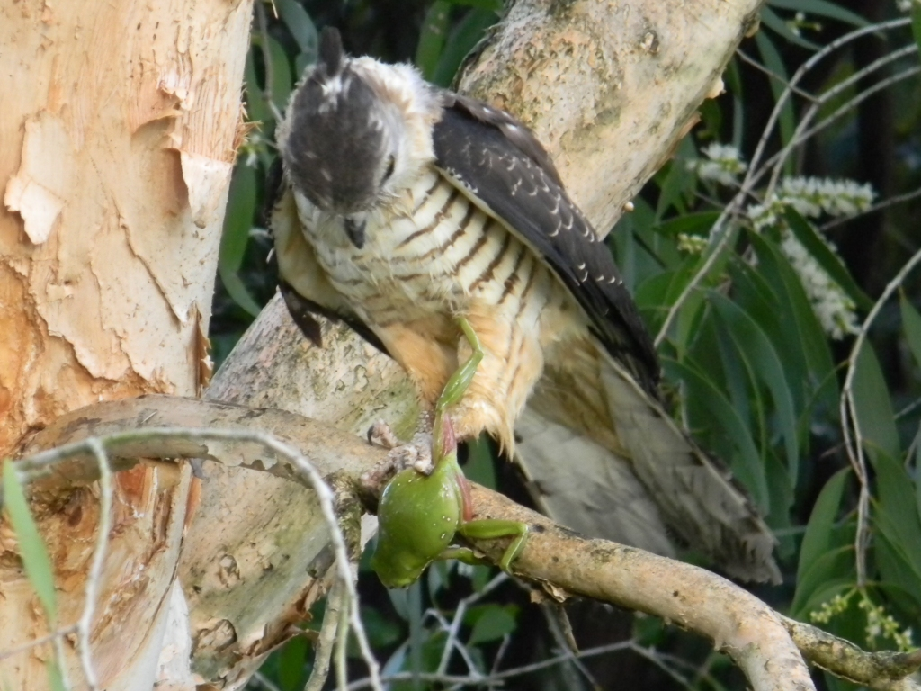 A Brown Goshawk perched in a Melaleuca Quinquenervia-Paperbark Tree