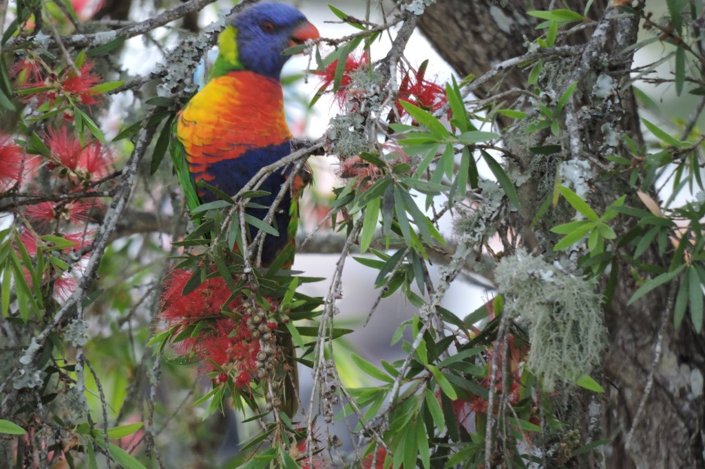 Rainbow Lorikeet in Callistemon Viminalis-Weeping Bottlebrush