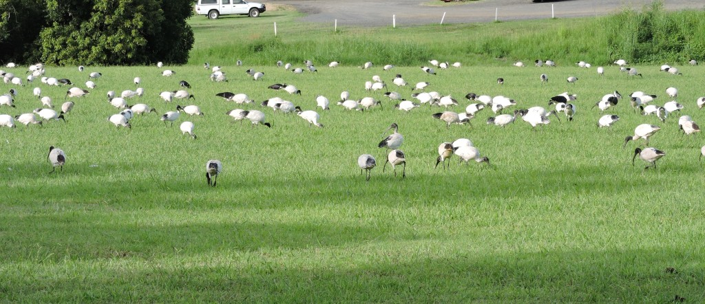 25/11/2015-Ibis Feeding near Creek.