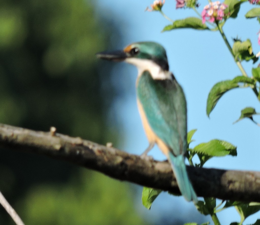 Sacred Kingfisher (S Goodwin)