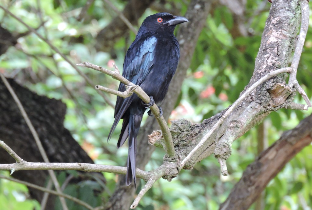 Spangled Drongo (S Goodwin)