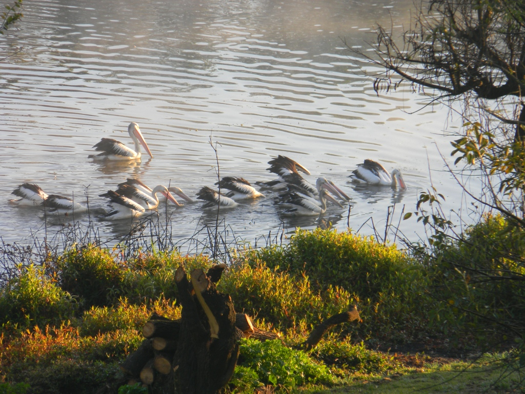 Pelicans on the Duckpond.