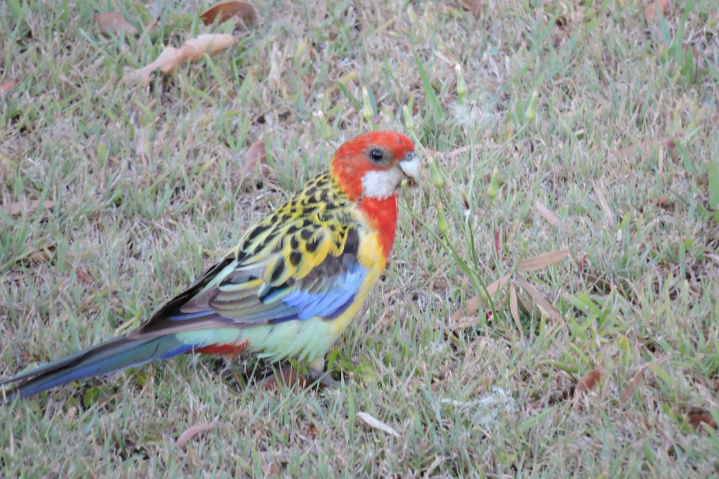 Eastern Rosella feeding at Hollingworth Creek.