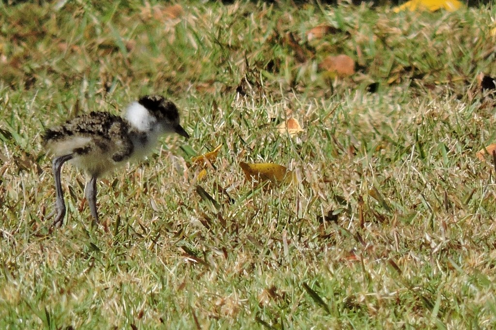 Masked Lapwing (Plover) Chick